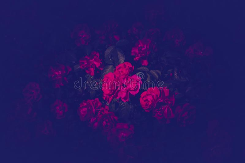 Trendy color ultra violet concept. Ultraviolet rose flower abstract background. stock photography
