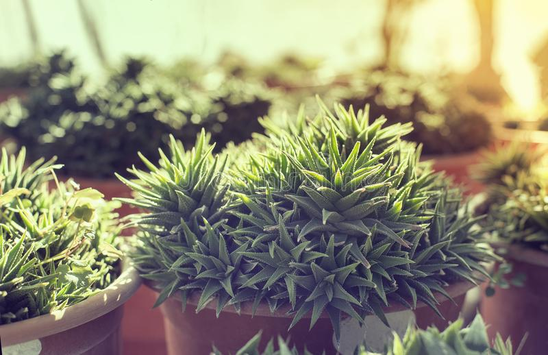 Trendy cactus in a pot. Cactus in pots in greenhouse sunflare in background stock images