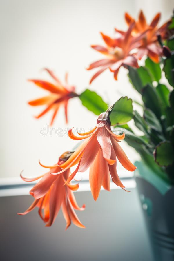 Download Trendy Cactus On Window Sill, Close Up Shot Stock Photo - Image of flowers, creative: 116498482