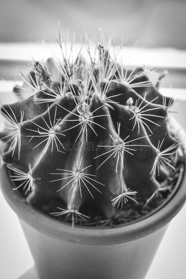 Download Trendy Cactus On Window Sill, Close Up Shot Stock Image - Image of indigenous, noone: 116498393