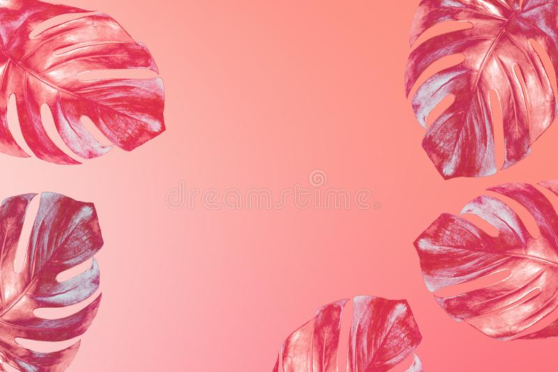 Trendy colored exotic tropical monstera  leaves on fashionable in 2020 Peach Pink gradient background royalty free stock image