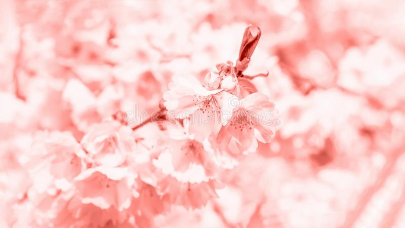 Trendy coral color. Delicate spring cherry blossom sakura. Spring background. 16:9 royalty free stock photos