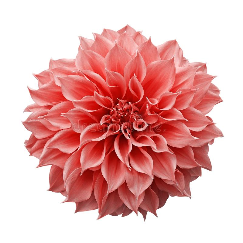 Trendy pink-orange or coral colored Dahlia flower the tuberous garden plant isolated on white background with clipping path.  stock photos