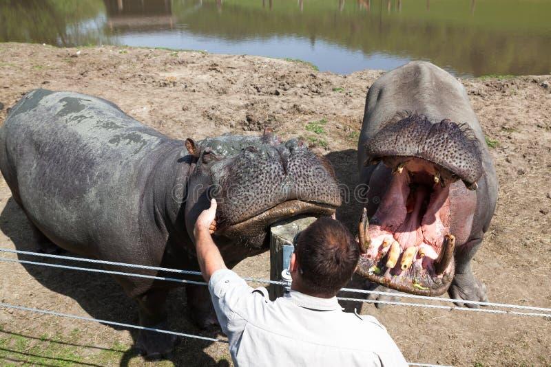Trener Oddziała wzajemnie z hipopotamami obraz royalty free