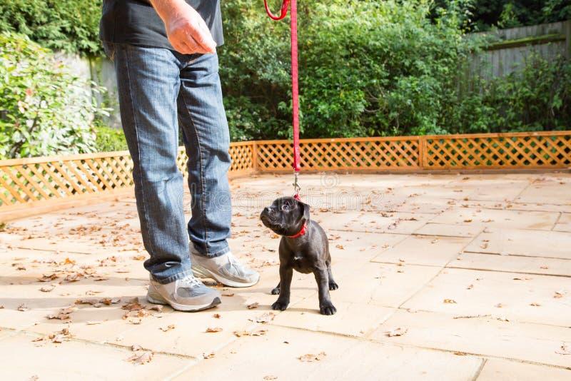 Trenować ślicznego Staffordshire Bull terrier szczeniaka obraz stock