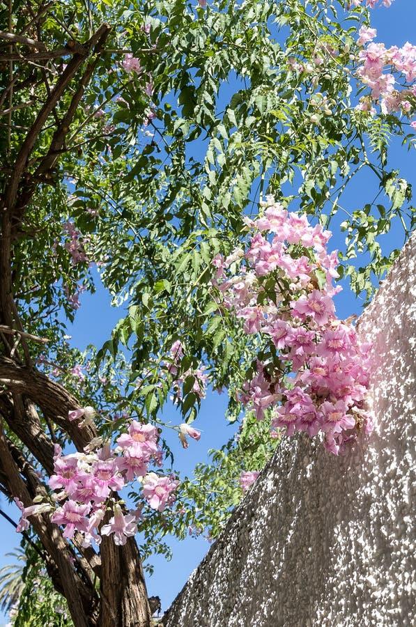 Trepadeira de Podranea Ricasoliana Zimbabwe, videira de trombeta cor-de-rosa, trepadeira portuária de St Johns, rainha de Sheba imagem de stock