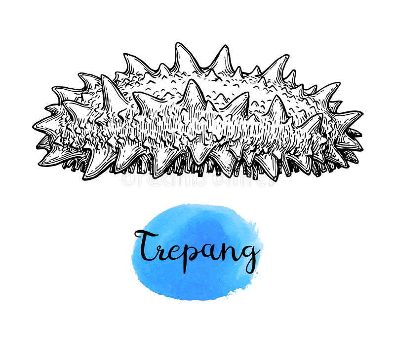 Trepang ink sketch. Isolated on white background. Hand drawn vector illustration. Retro style royalty free illustration
