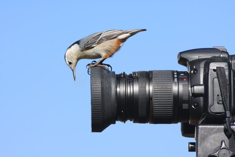 Trepatroncos Blanco-breasted en una cámara imagen de archivo