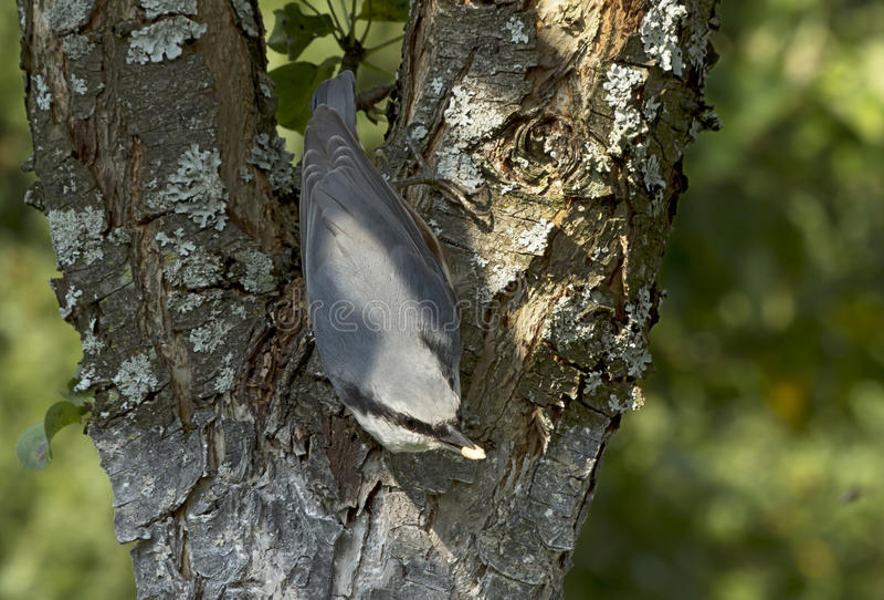Trepatroncos del pájaro imagen de archivo