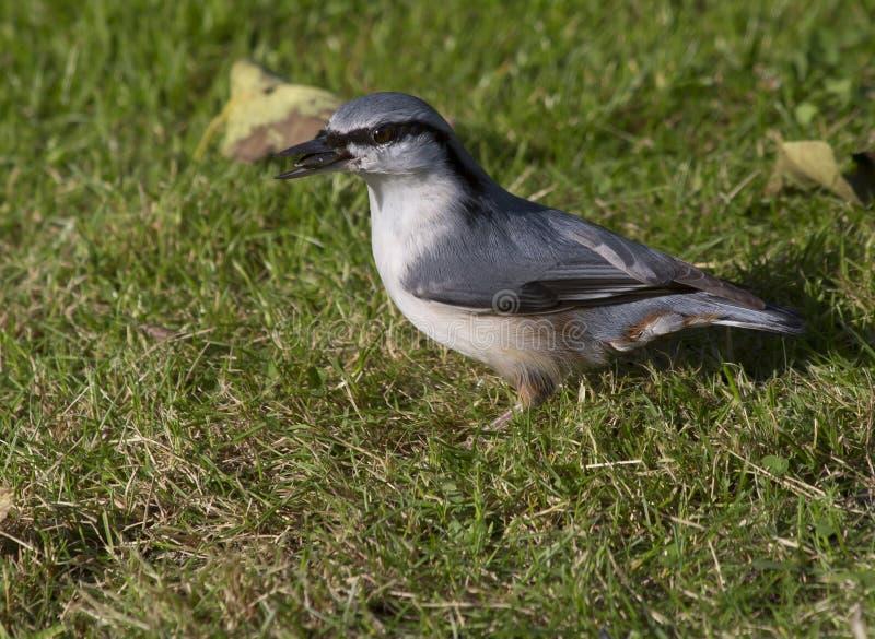 Trepatroncos del pájaro imágenes de archivo libres de regalías