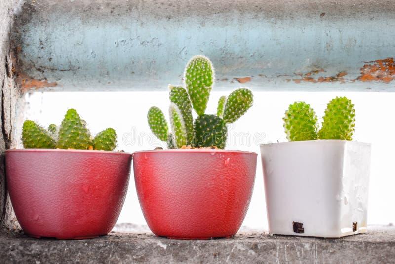 Tres árboles del cactus en un pequeño pote en la pared del cuarto en el balcón foto de archivo libre de regalías