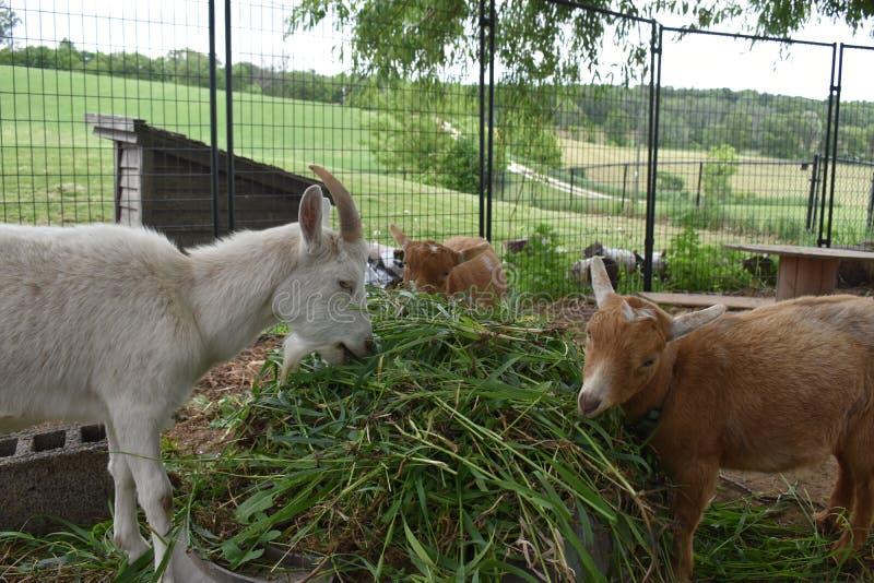Tres amigos de la cabra que comparten un bufete de ensaladas de hierba en una granja en Wisconsin rural en verano fotos de archivo libres de regalías