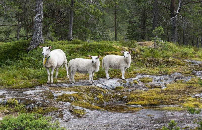 Tres animales de las ovejas en naturaleza en Noruega imagen de archivo