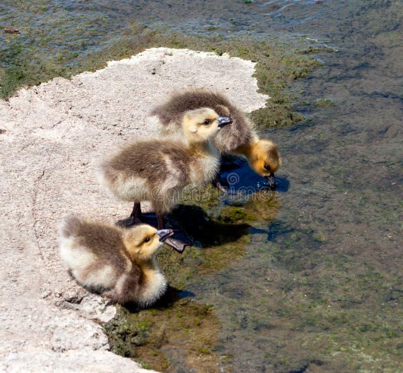 Tres ansarones sedientos del ganso de Canadá fotos de archivo libres de regalías