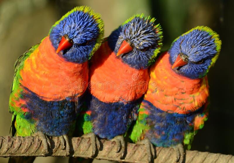 Tres arco iris Lorikeets imágenes de archivo libres de regalías