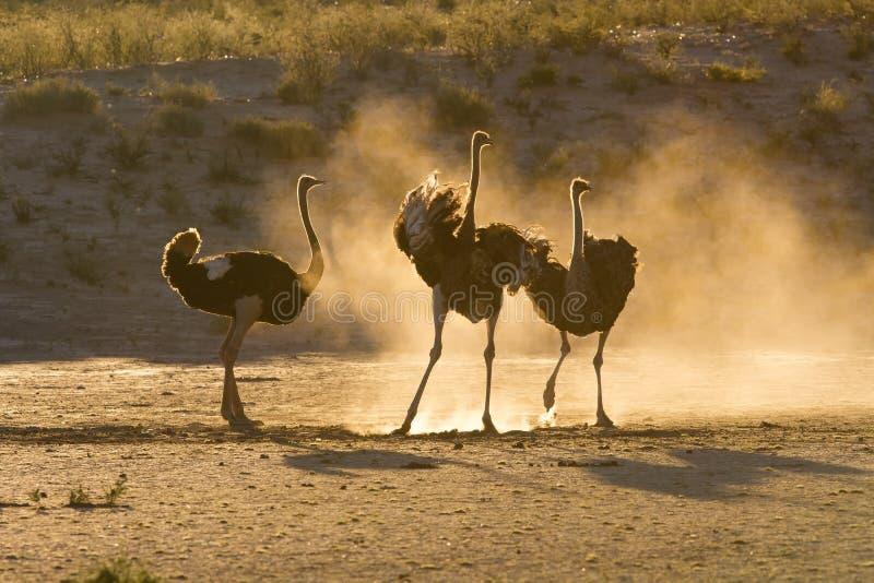 Tres avestruces en el Kalahari con polvo fotografía de archivo libre de regalías
