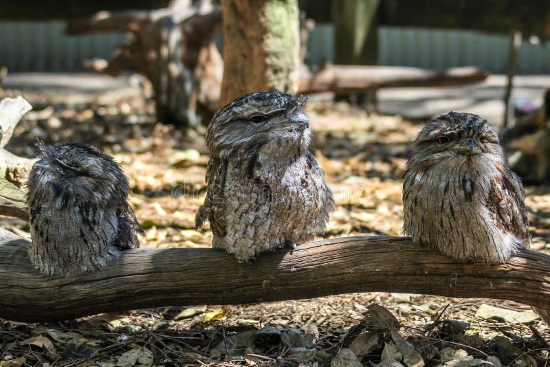 Tres búhos australianos que se sientan en la rama, Sydney Australia del frogmouth foto de archivo