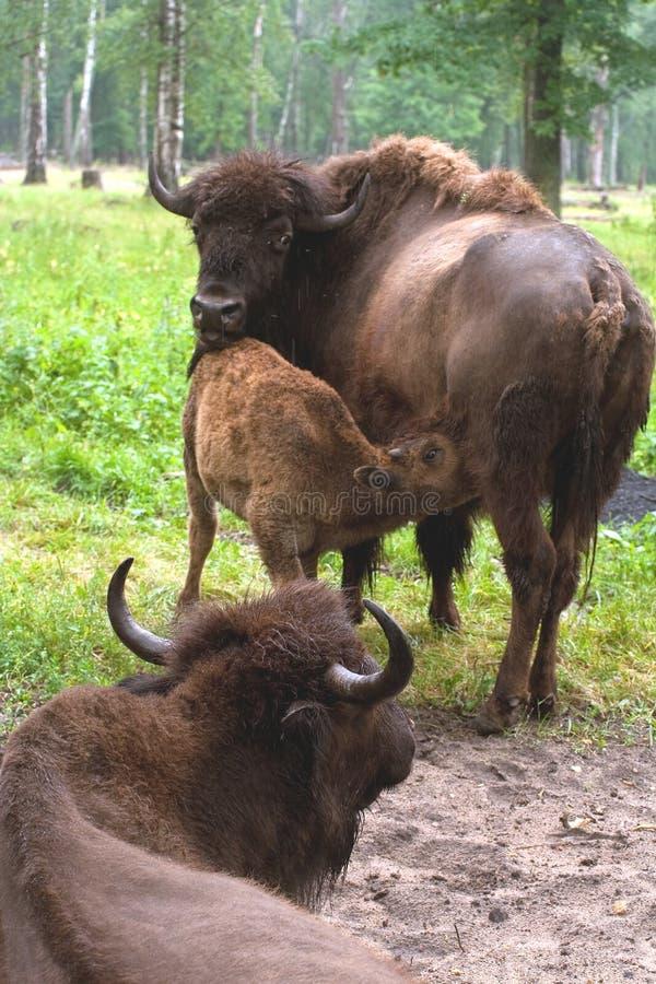 Tres bisontes fotografía de archivo libre de regalías