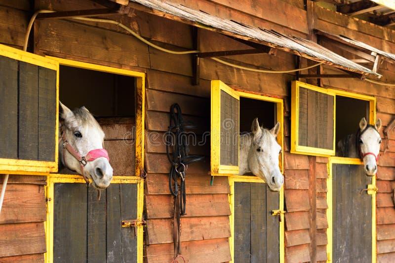 Tres caballos árabes blancos que miran hacia fuera de sus cajas imagen de archivo libre de regalías