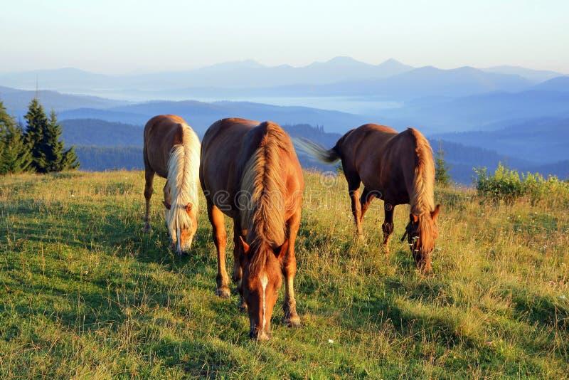 Tres caballos en el amanecer pastan en el prado en el fondo de siluetas de montañas imagen de archivo