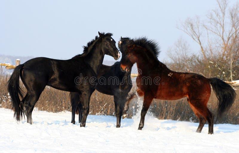 Tres caballos en la nieve imagen de archivo