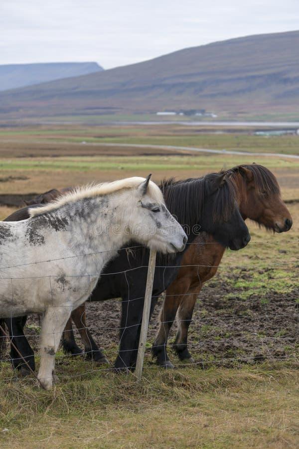 Tres caballos islandeses de diverso color hermoso que se colocan detrás de la cerca fotografía de archivo