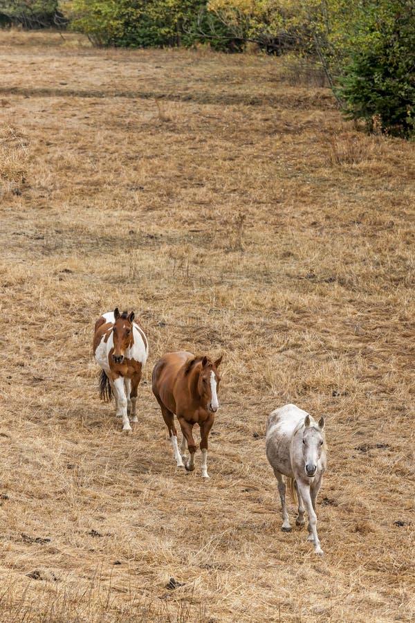 Tres caballos que caminan adelante foto de archivo