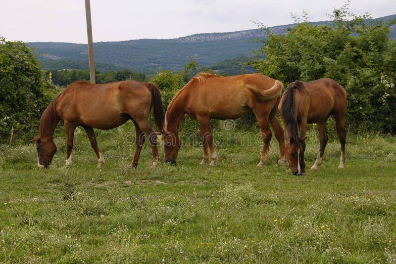 Tres caballos que pastan en un prado fotografía de archivo