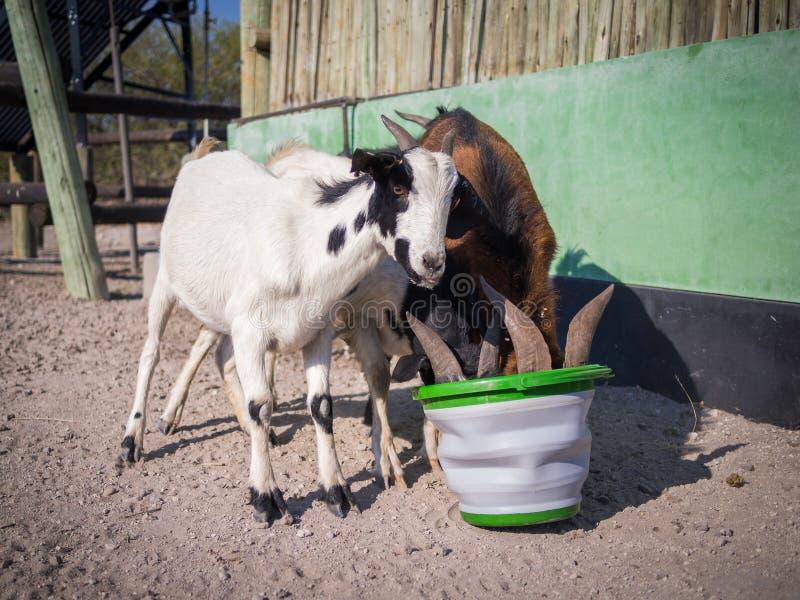 Tres cabras sedientas que beben con impaciencia fuera de pucket plástico en el desierto de Kalahari de Botswana, África imagenes de archivo