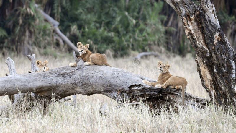 Tres cachorros de león que mienten en un tronco de árbol caido grande fotos de archivo
