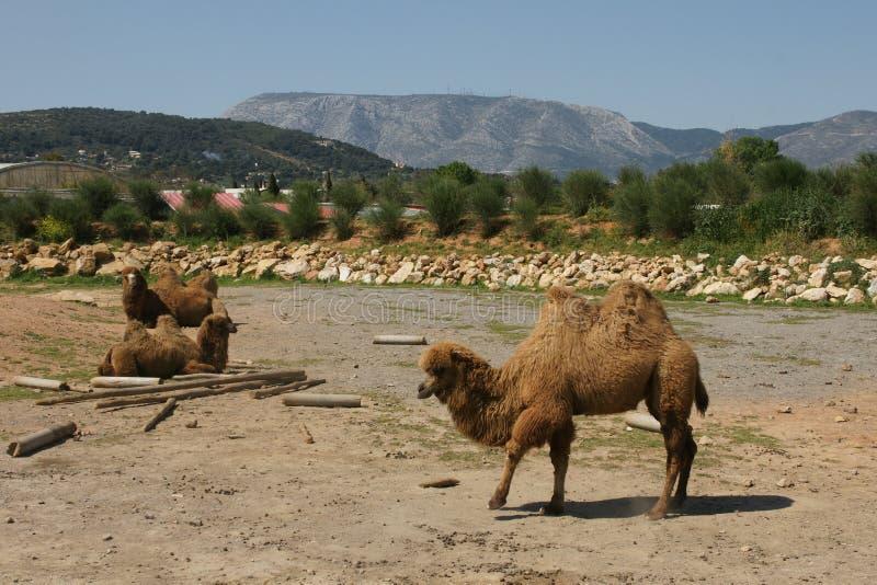 Tres camellos hermosos imágenes de archivo libres de regalías