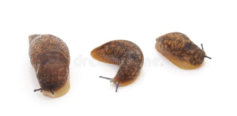 Tres caracoles marrones imagen de archivo libre de regalías