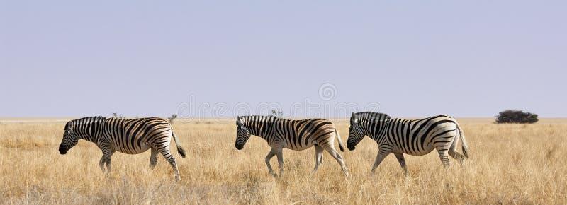 Tres cebras en sabana africana imagenes de archivo