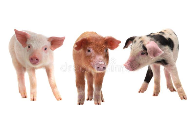 Tres cerdos fotografía de archivo