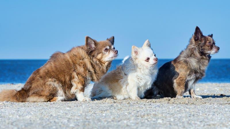 Tres chihuahuas fotos de archivo