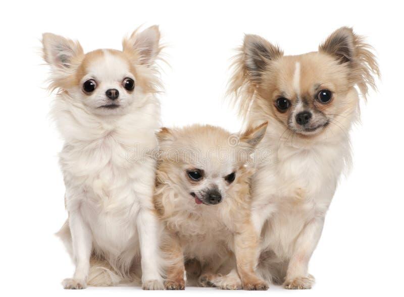 Tres chihuahuas que se sientan delante del fondo blanco imágenes de archivo libres de regalías