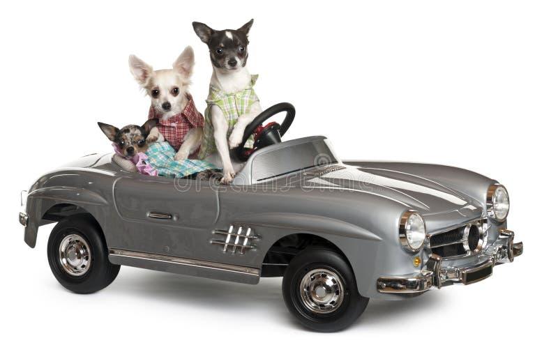 Tres chihuahuas que se sientan en convertible imagen de archivo libre de regalías
