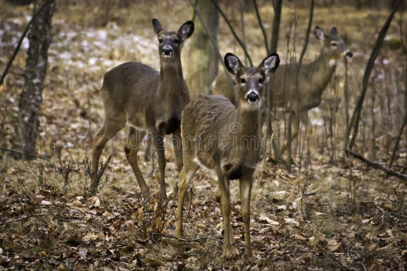 Tres ciervos imágenes de archivo libres de regalías