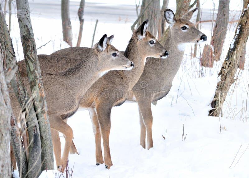 Tres ciervos de Whitetail imagenes de archivo