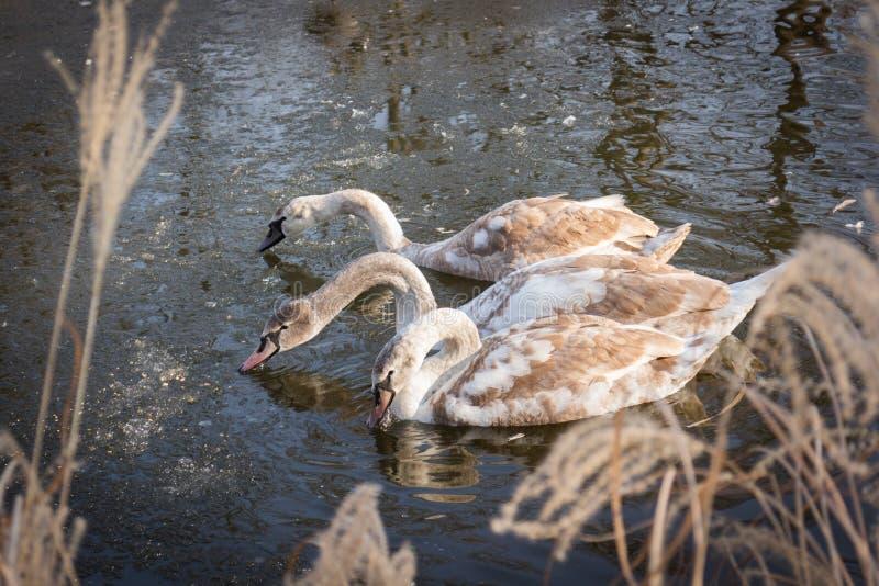 Tres cisnes jovenes de los pollos del cisne que alimentan en una charca congelada imágenes de archivo libres de regalías