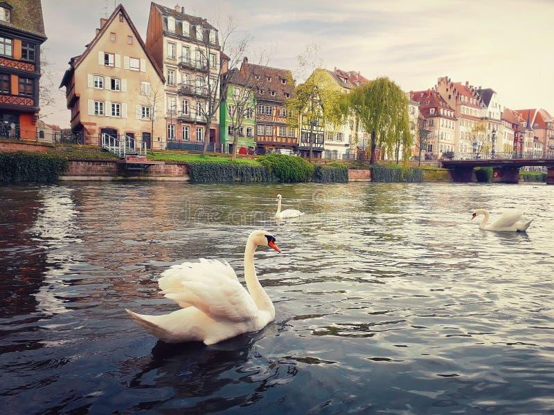 Tres cisnes magn?ficos que flotan en el r?o Tarde de la primavera en los canales de Estrasburgo delante de la calle del DES Batel fotos de archivo libres de regalías