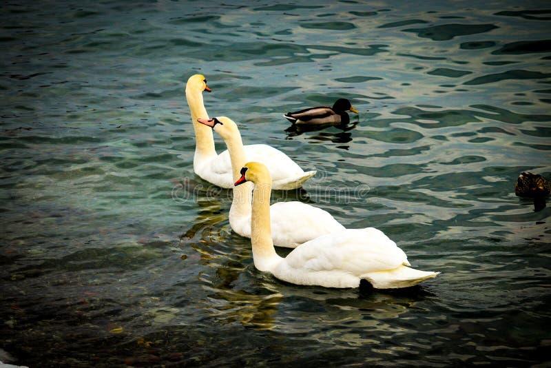 Tres cisnes preciosos imagenes de archivo