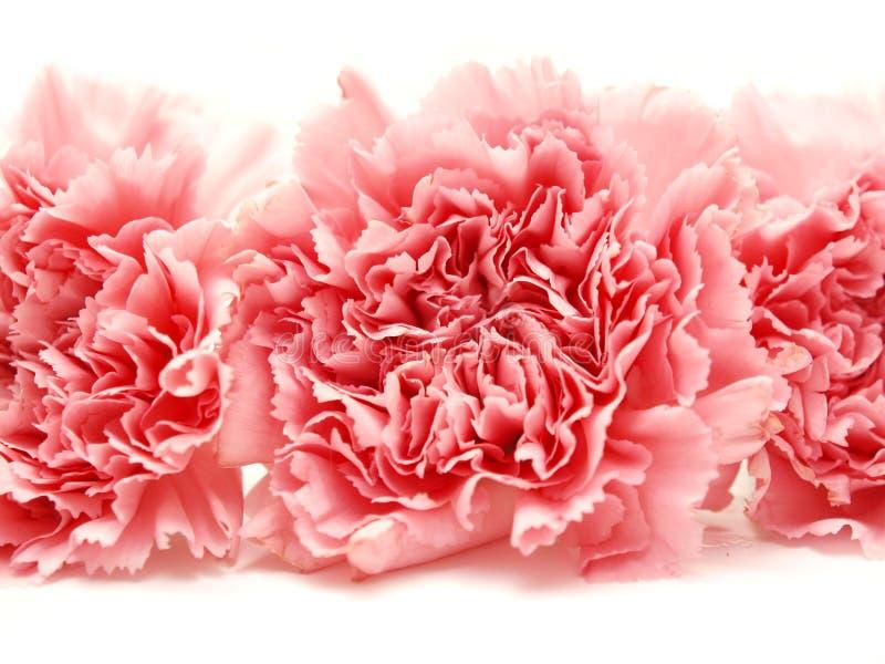 Tres claveles aislados rosados en el fondo blanco fotografía de archivo libre de regalías