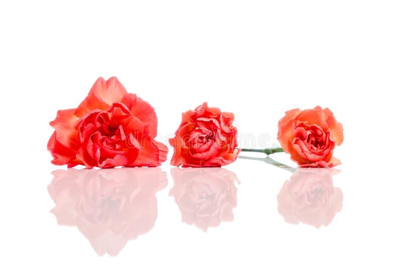 Tres claveles anaranjados en fila aislados en blanco con la reflexión fotos de archivo libres de regalías