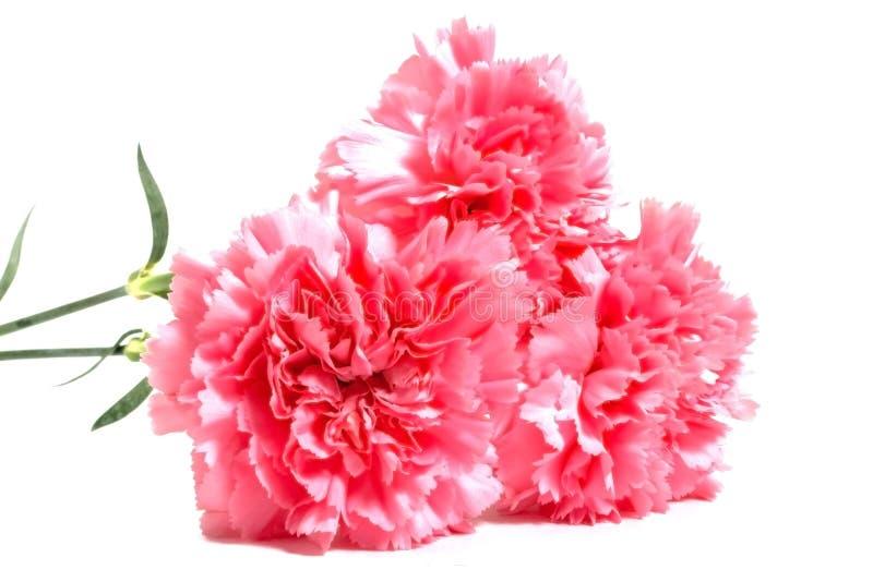 Tres claveles rosados fotos de archivo
