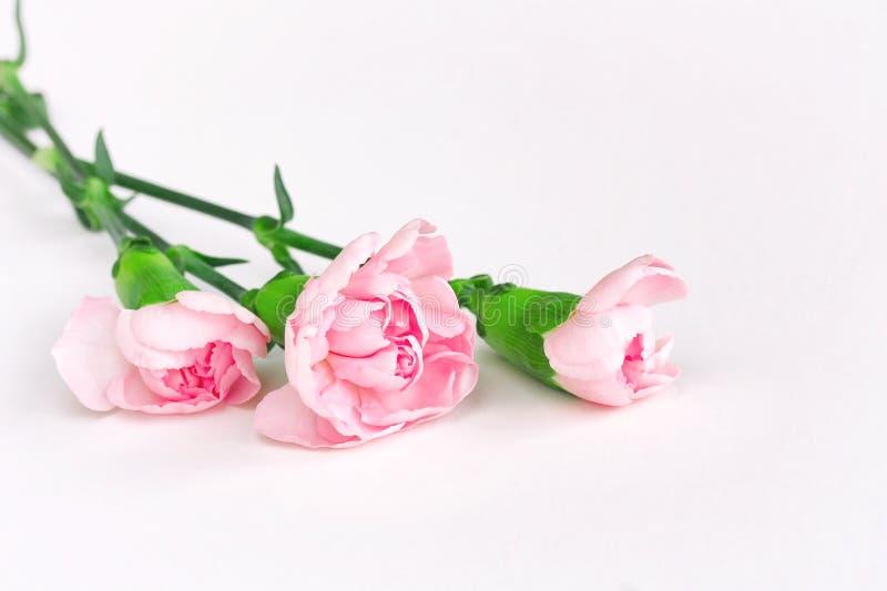 Tres claveles rosados, ramo en el fondo blanco fotografía de archivo