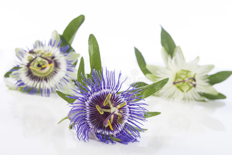 Tres colorearon la flor de la pasión aislada en blanco imagen de archivo libre de regalías