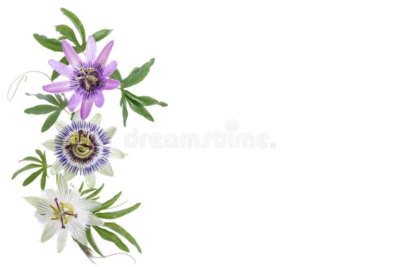 Tres colorearon la flor de la pasión púrpura, blanco, azul, colgante aislado en blanco fotografía de archivo libre de regalías