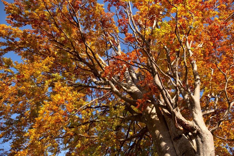 Tres coloridos viejos grandes en los colores del otoño, temporada de otoño hermosa imágenes de archivo libres de regalías