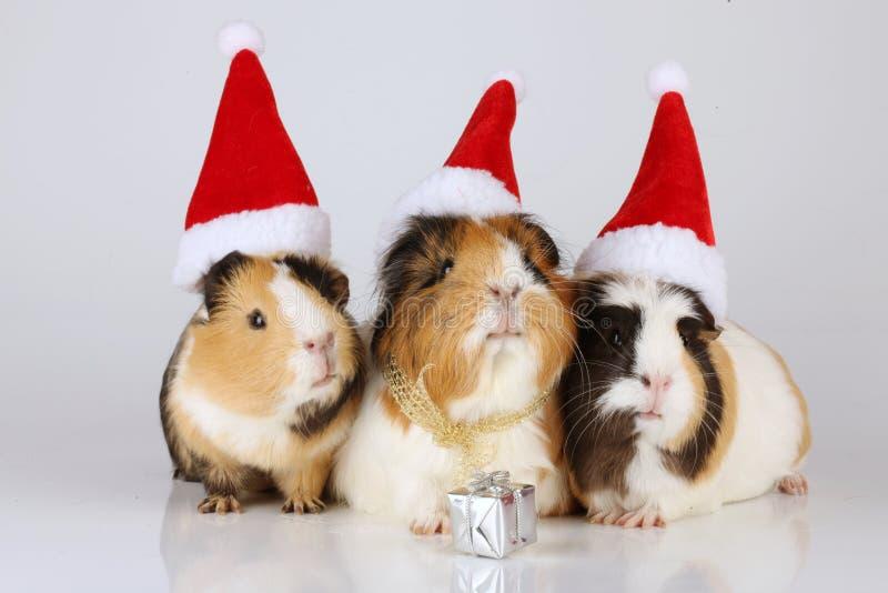 Tres conejillos de Indias con los sombreros de santa foto de archivo